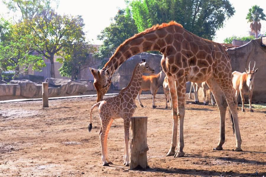 Puedes elegir el nombre de una bebé jirafa del Zoológico de Aragón