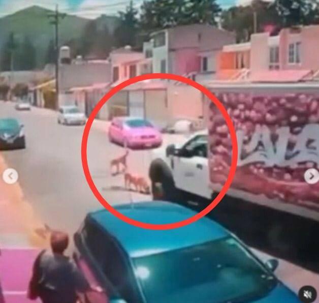 Buscan a responsable de atropellar a un lomito con un camión de Lala