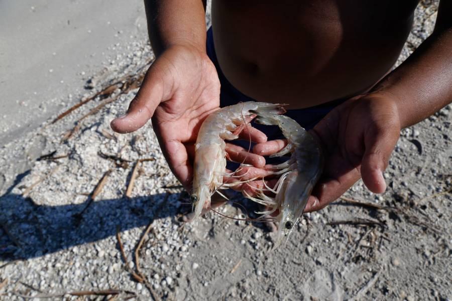 Anuncia Agricultura fin de la veda de camarón