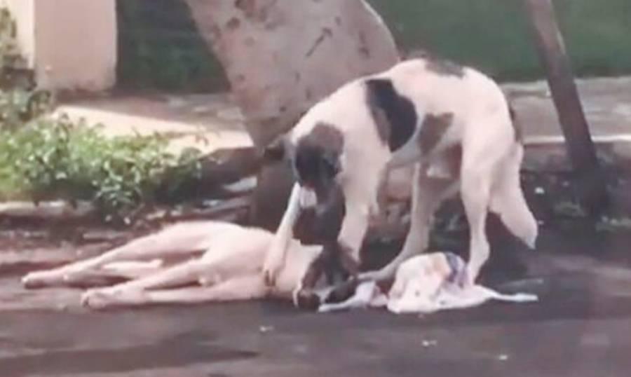 Perrito pasa más de un día con lomito atropellado en espera de ayuda