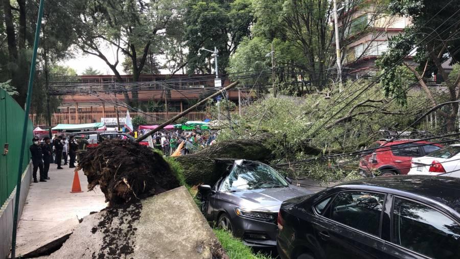 Árbol cae en calles de Miguel Hidalgo; no hay lesionados