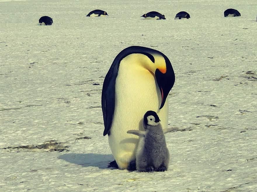 En Sudáfrica más de 60 pingüinos murieron debido a picaduras de abejas