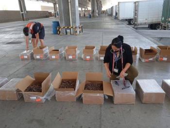 Autoridades retienen media tonelada de pepino de mar seco en Tijuana