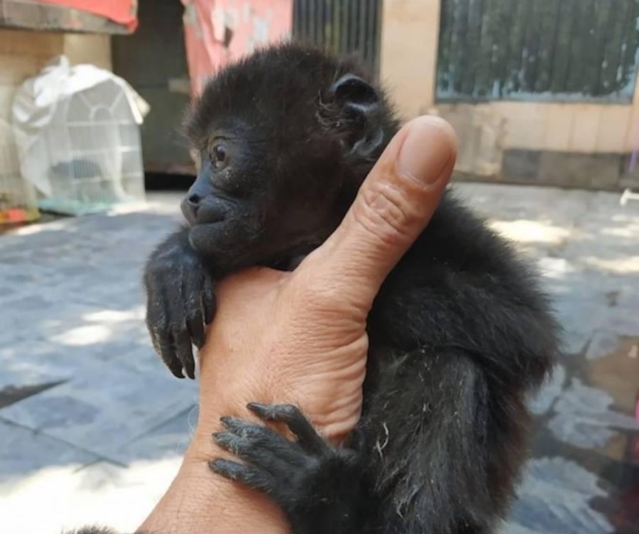 AZCARM exige atender incremento de tráfico y posesión de monos araña y saraguatos