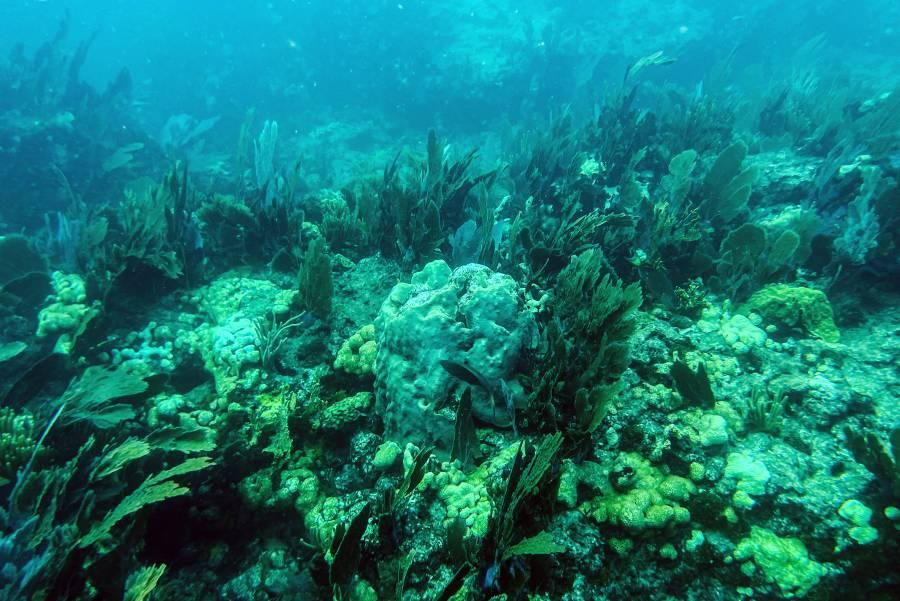 Alertan que 14% del coral en el mundo desapareció entre 2009 y 2018