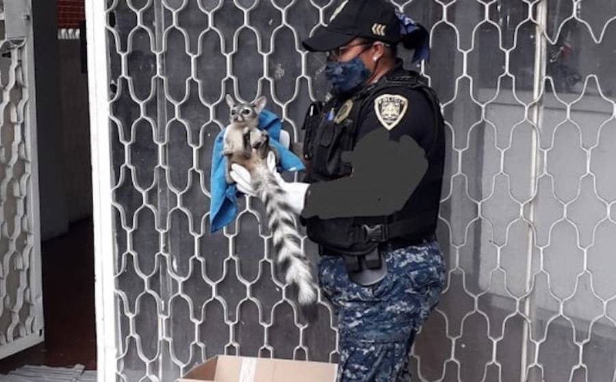 Brigada de Vigilancia Animal rescata a cacomixtle arrollada en Azcapotzalco