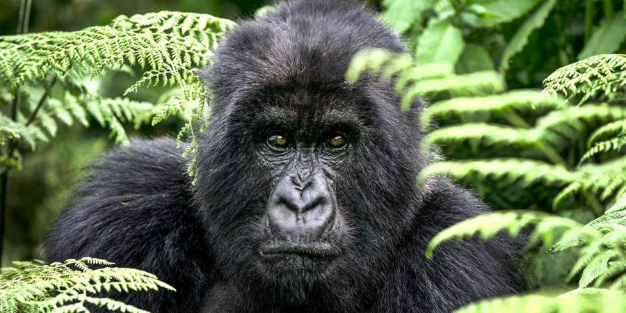 Murió la famosa gorila del parque Virunga en la República Democrática del Congo
