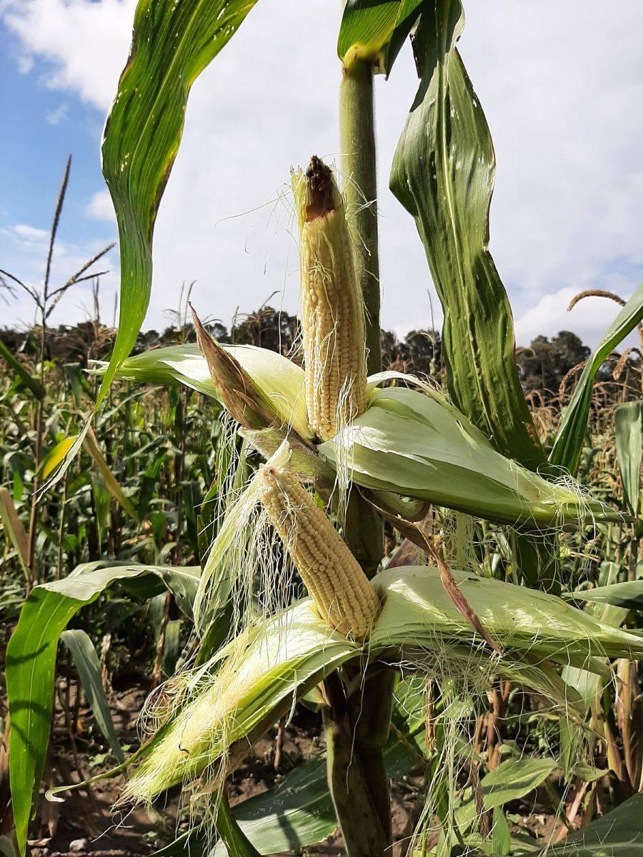 Colpos desarrolla variedades mejoradas de maíz palomero para potenciar su cultivo