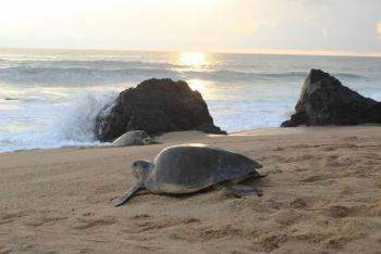 Investigan muerte de 300 tortugas marinas en Oaxaca