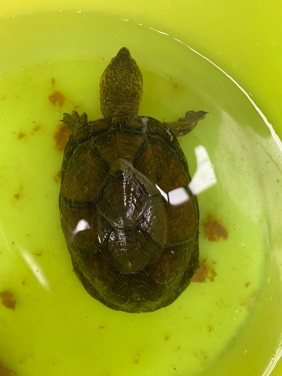 Rescate tortugas Guanajuato