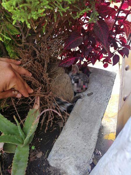Resultado de imagen para Brigada Animal rescata a cacomixtle en la Magdalena Contreras