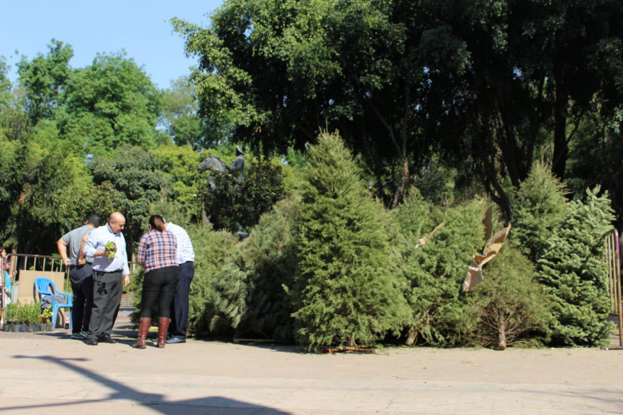 Abren puntos de acopio de árboles navideños en Alcaldía BJ