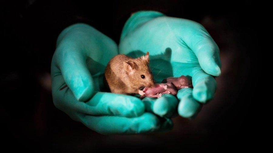 Crean ratones a partir de dos hembras combinando células madre y edición de genes