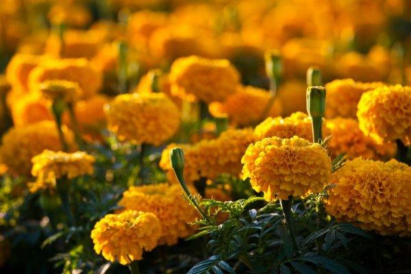 Asegura SAGARPA que habrá suficiente abasto de flores de cempasúchil